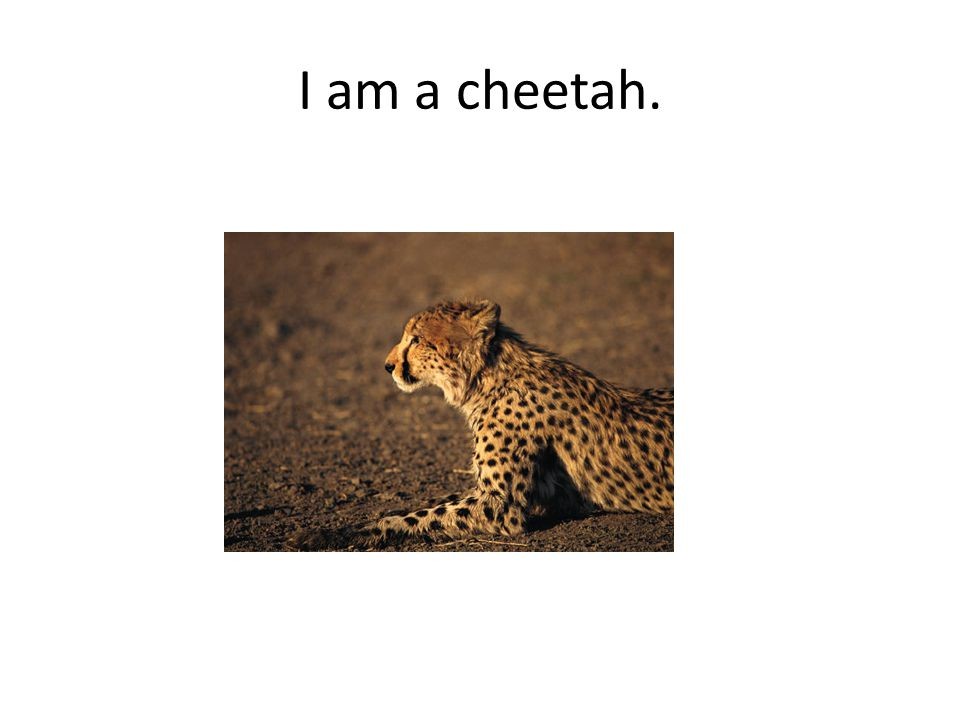I am a cheetah.