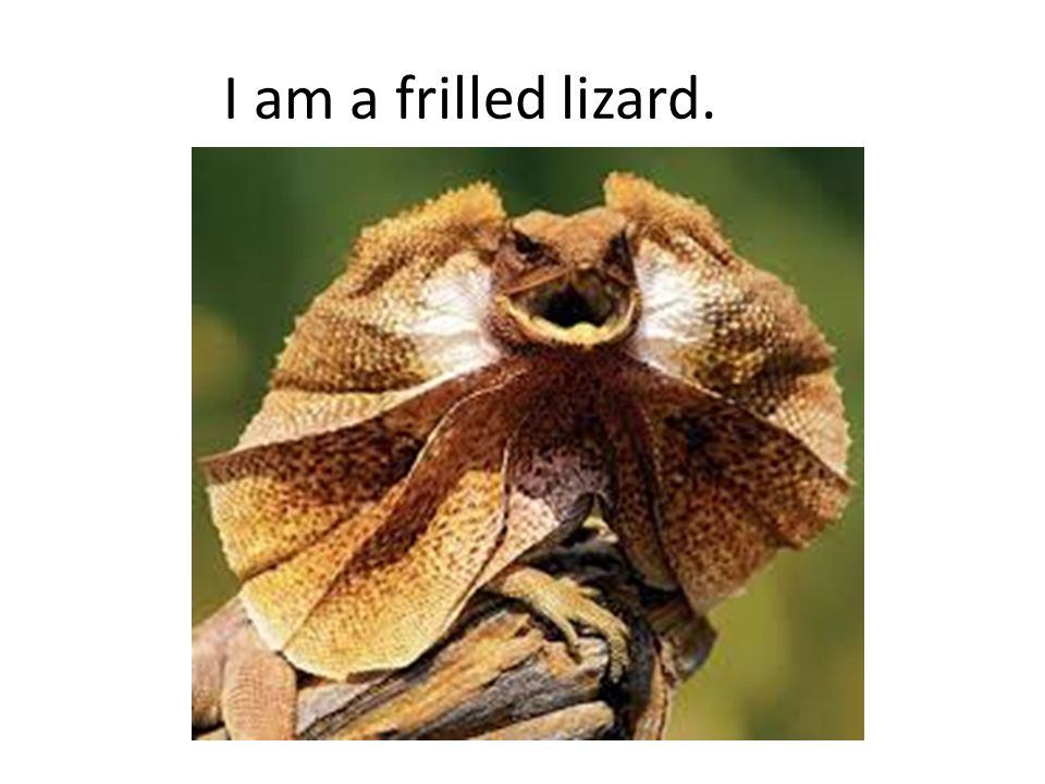 I am a frilled lizard.