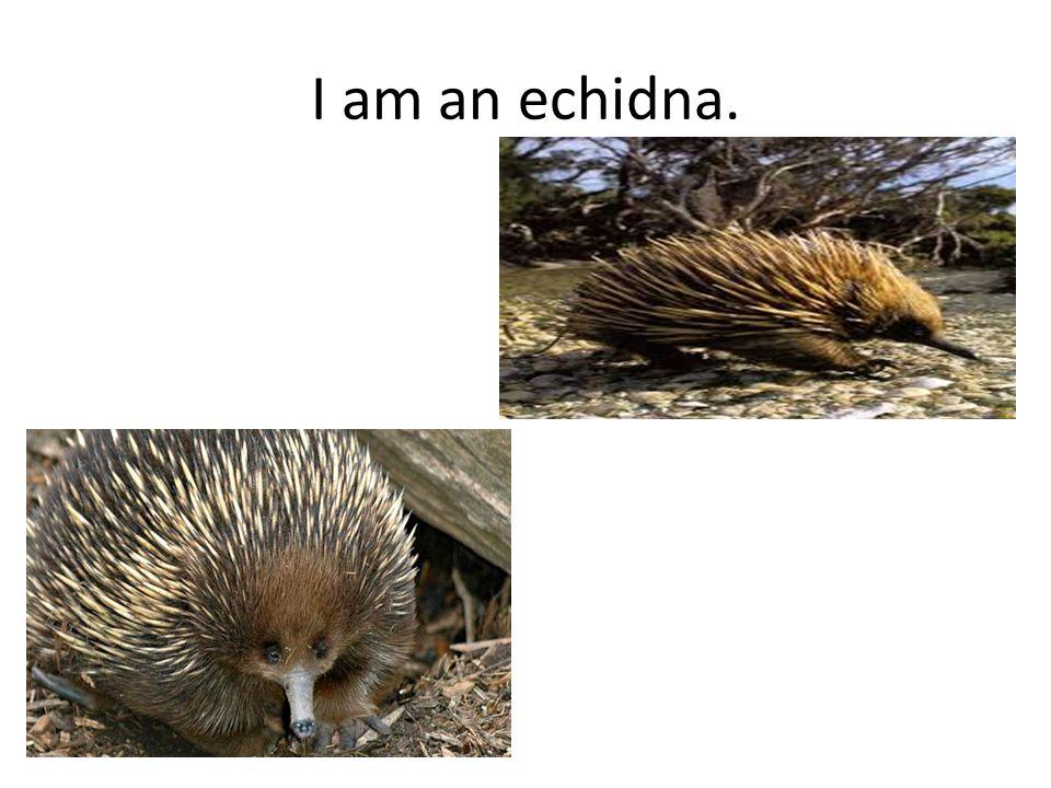 I am an echidna.