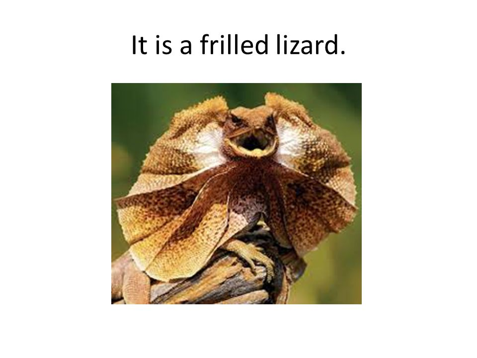 It is a frilled lizard.