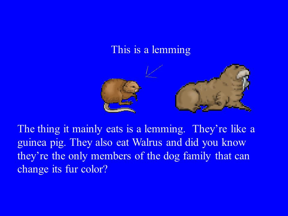 This is a lemming
