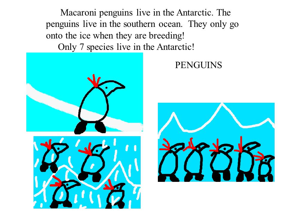 Macaroni penguins live in the Antarctic