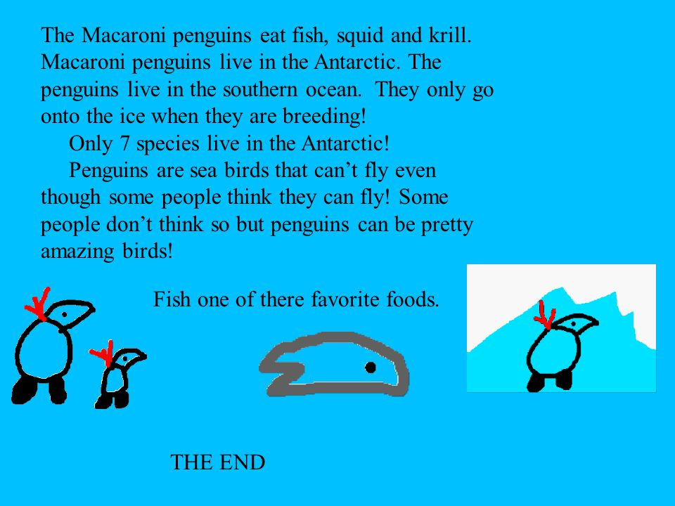 The Macaroni penguins eat fish, squid and krill