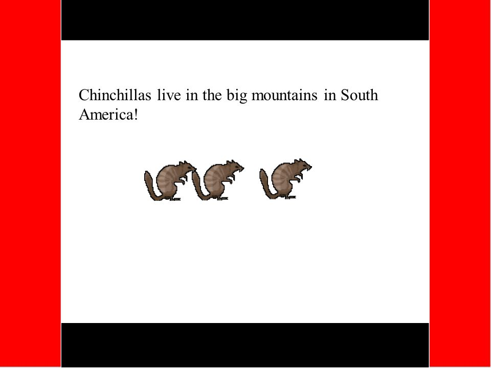 Chinchillas live in the big mountains in South America!