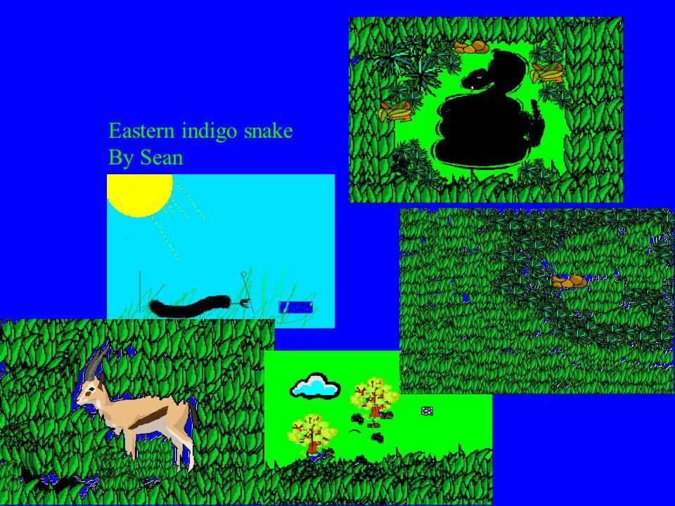 Eastern indigo snake By Sean