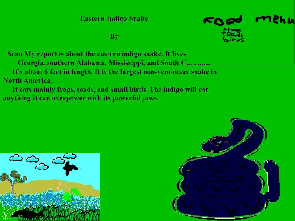 Eastern Indigo Snake By.
