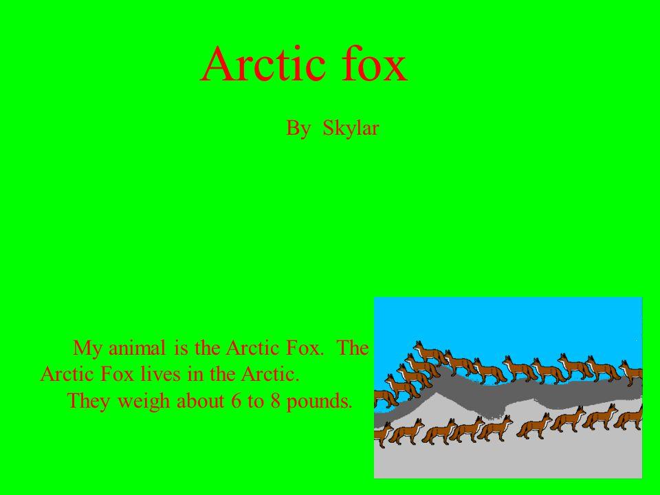 Arctic fox By Skylar. My animal is the Arctic Fox.