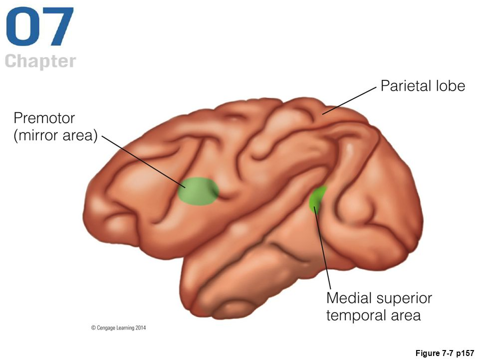 Figure 7.7 The human brain, showing the medial superior temporal area (MST), which responds to optic flow, as discussed here. Other areas, which will be discussed later, are the parietal reach region (PRR) in the parietal lobe, which is involved in reaching and grasping, and the premotor cortex (PM), which is involved in observing other people's actions.