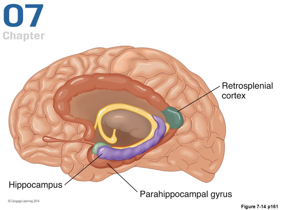 Figure 7.14 The human brain, showing three structures important to navigation: the parahippocampal gyrus, the hippocampus, and the retrosplenial cortex.