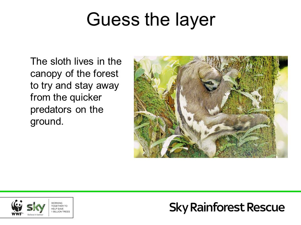 Guess the layer The sloth lives in the canopy of the forest to try and stay away from the quicker predators on the ground.
