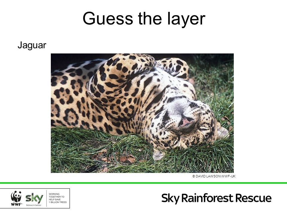 Guess the layer Jaguar © DAVID LAWSON WWF-UK