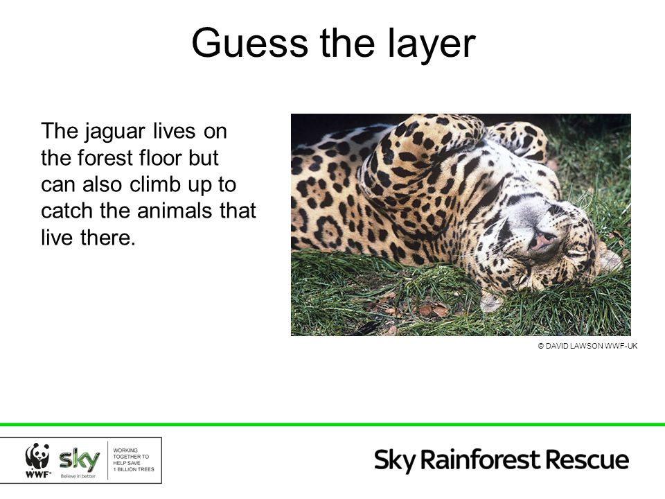 Guess the layer The jaguar lives on the forest floor but can also climb up to catch the animals that live there.