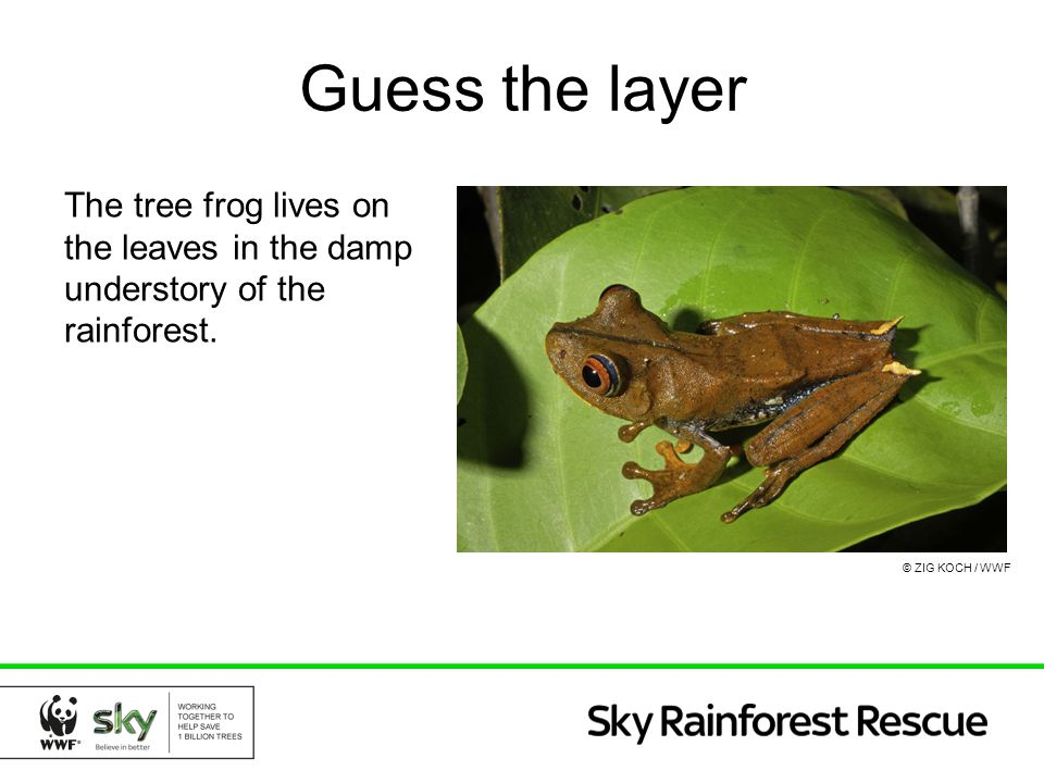 Guess the layer The tree frog lives on the leaves in the damp understory of the rainforest.