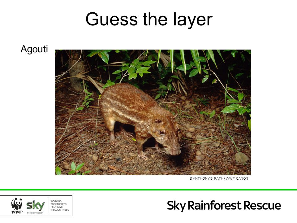 Guess the layer Agouti © ANTHONY B. RATH / WWF-CANON