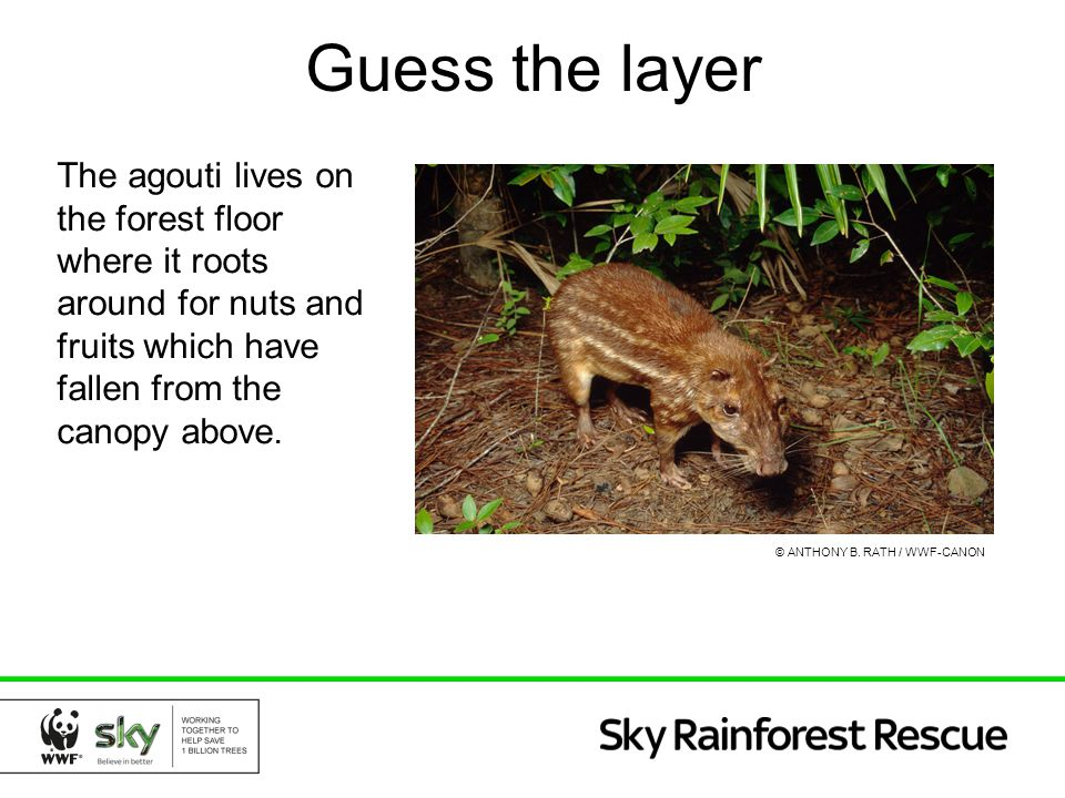 Guess the layer The agouti lives on the forest floor where it roots around for nuts and fruits which have fallen from the canopy above.
