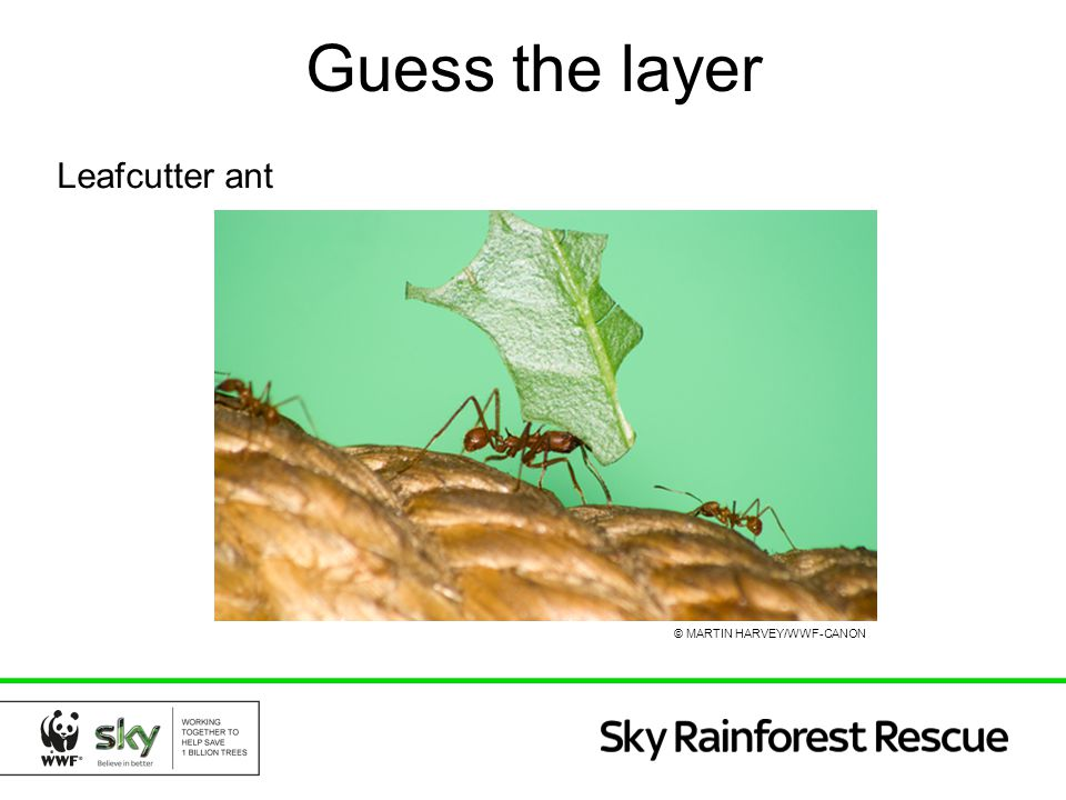 Guess the layer Leafcutter ant © MARTIN HARVEY/WWF-CANON