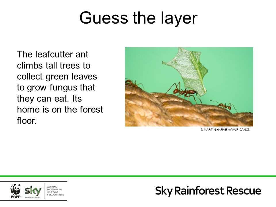 Guess the layer The leafcutter ant climbs tall trees to collect green leaves to grow fungus that they can eat. Its home is on the forest floor.