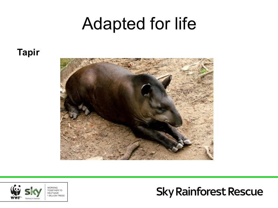 Adapted for life Tapir