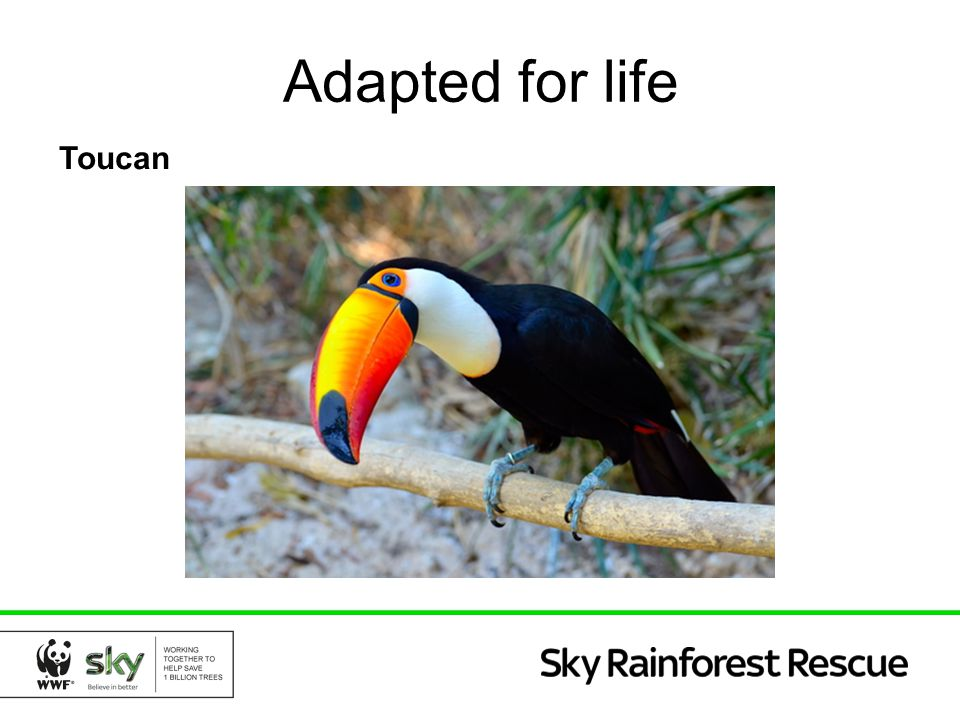 Adapted for life Toucan