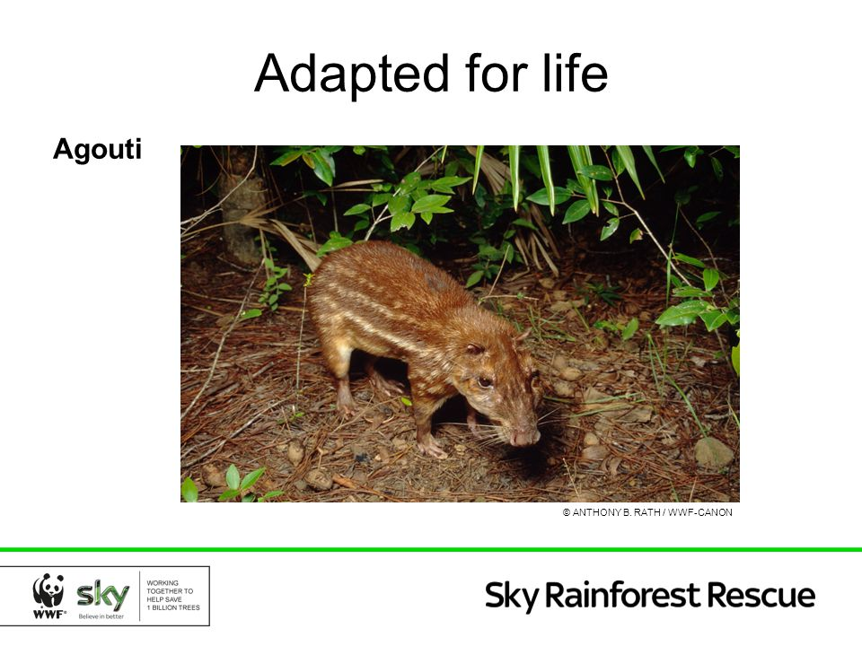Adapted for life Agouti © ANTHONY B. RATH / WWF-CANON
