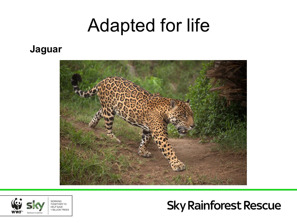 Adapted for life Jaguar