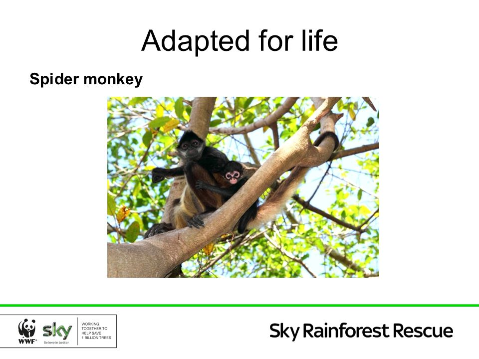 Adapted for life Spider monkey