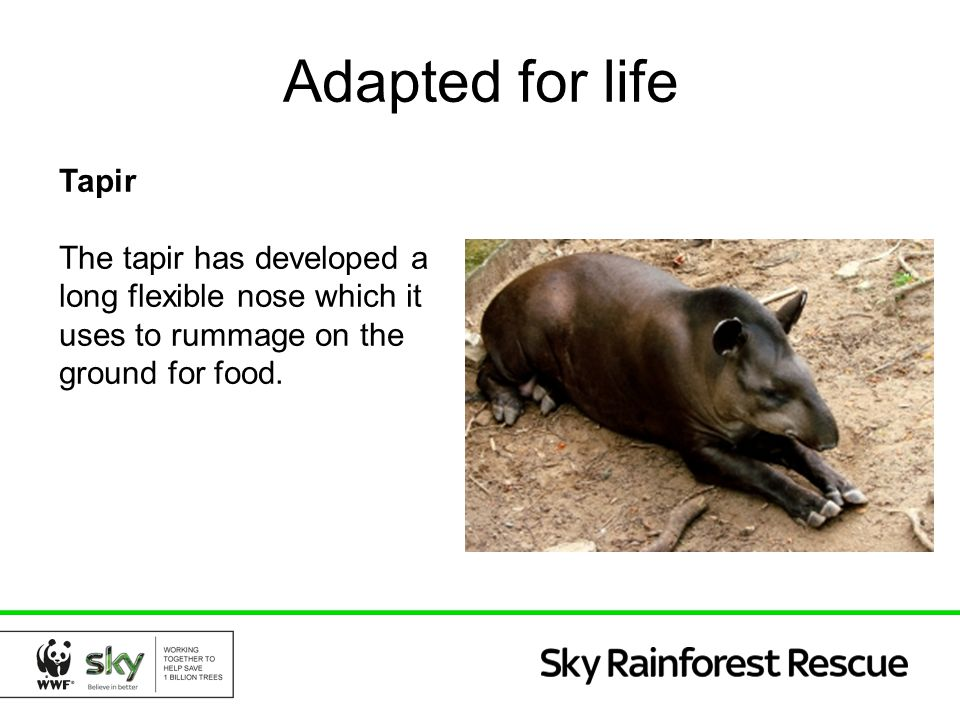 Adapted for life Tapir.