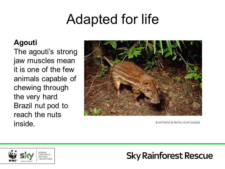 Adapted for life Agouti