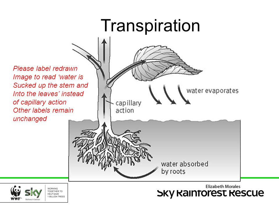 Transpiration Please label redrawn Image to read 'water is
