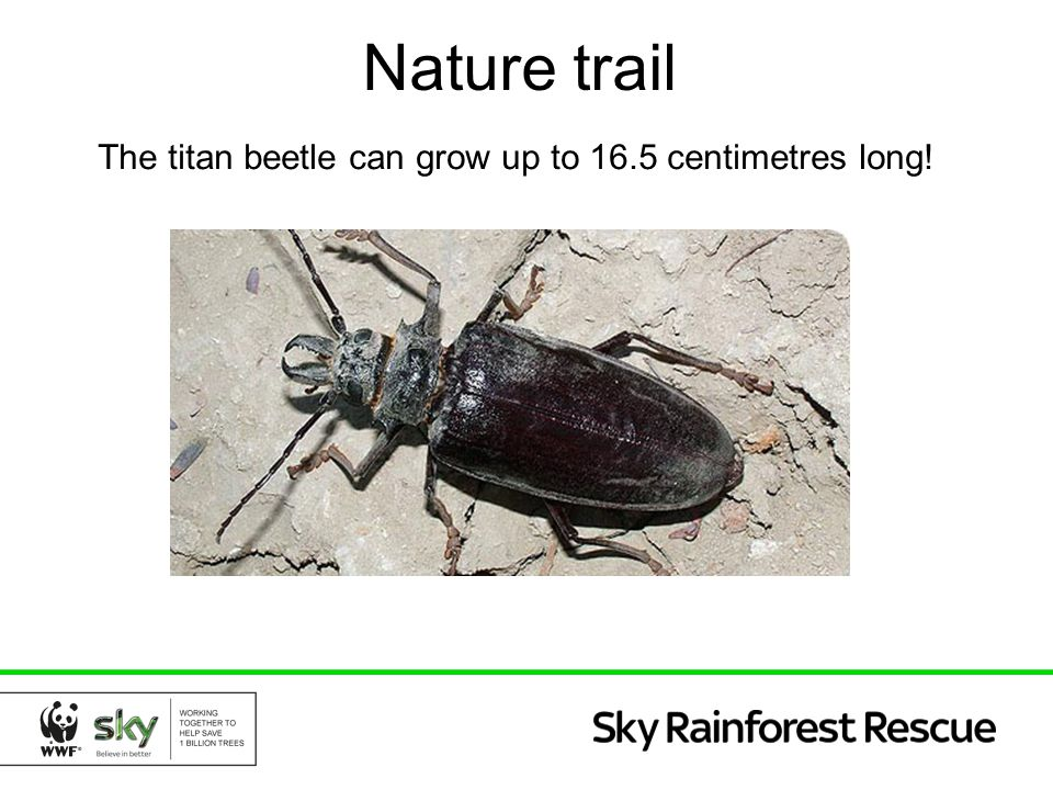 Nature trail The titan beetle can grow up to 16.5 centimetres long!