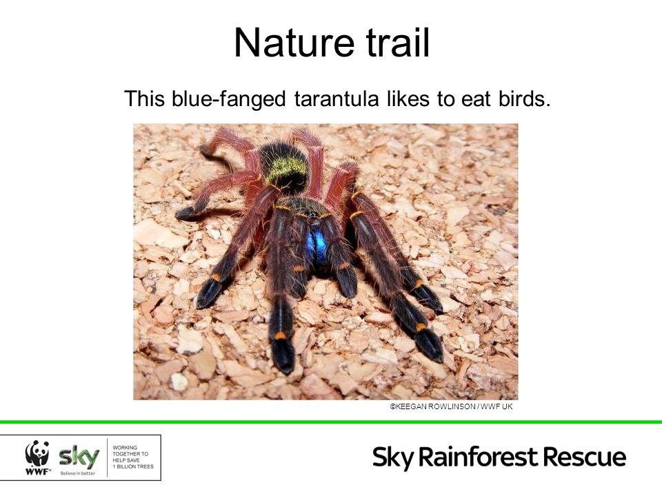 Nature trail This blue-fanged tarantula likes to eat birds.