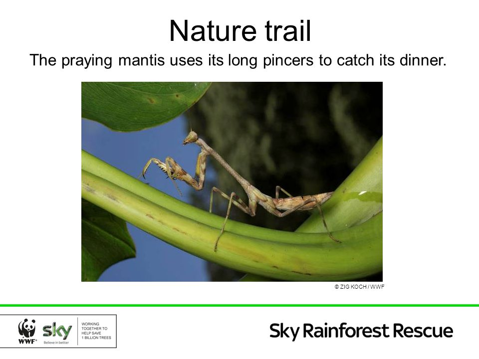 Nature trail The praying mantis uses its long pincers to catch its dinner. © ZIG KOCH / WWF