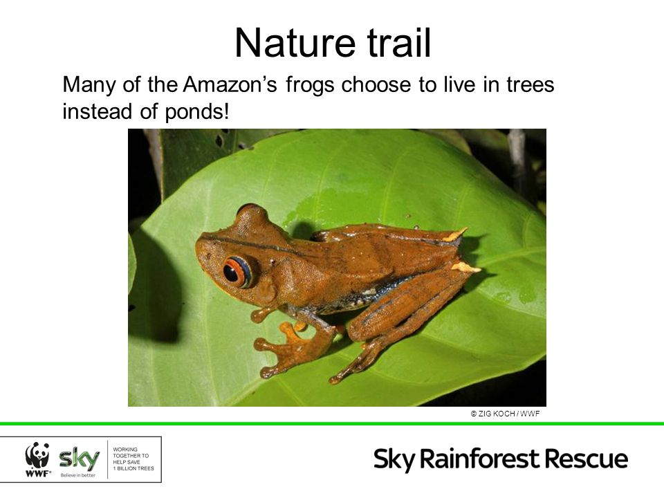 Nature trail Many of the Amazon's frogs choose to live in trees instead of ponds! © ZIG KOCH / WWF