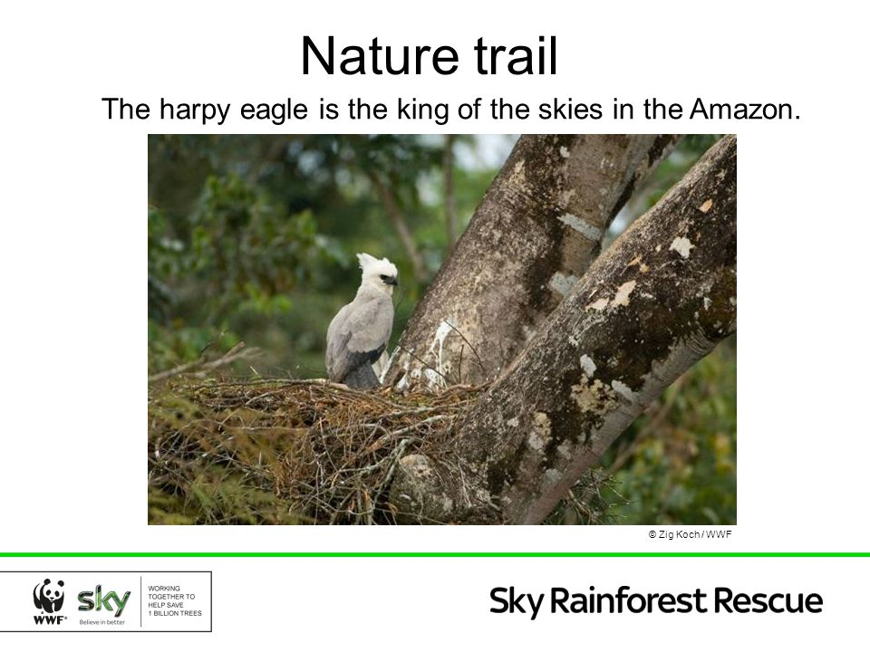 Nature trail The harpy eagle is the king of the skies in the Amazon.