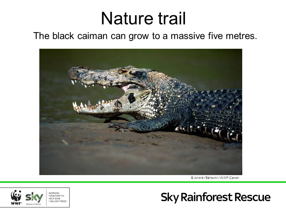 Nature trail The black caiman can grow to a massive five metres.