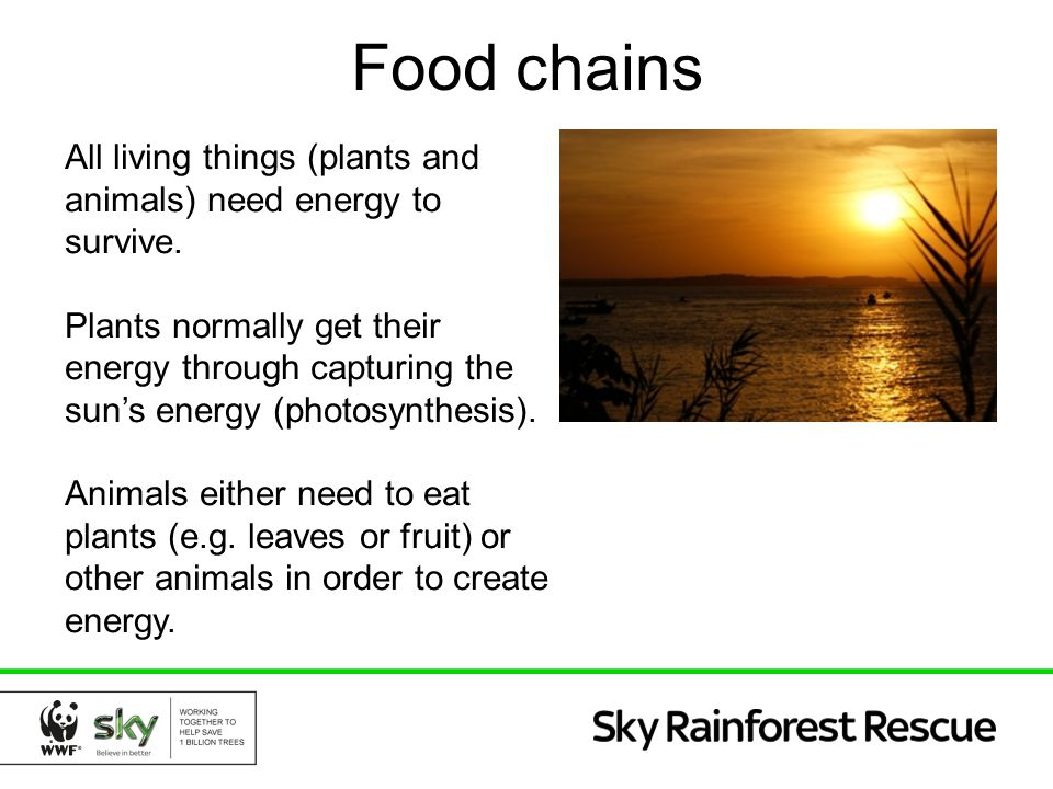 Food chains All living things (plants and animals) need energy to survive.