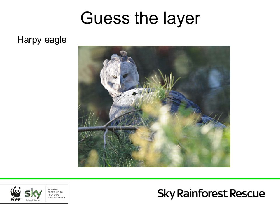 Guess the layer Harpy eagle