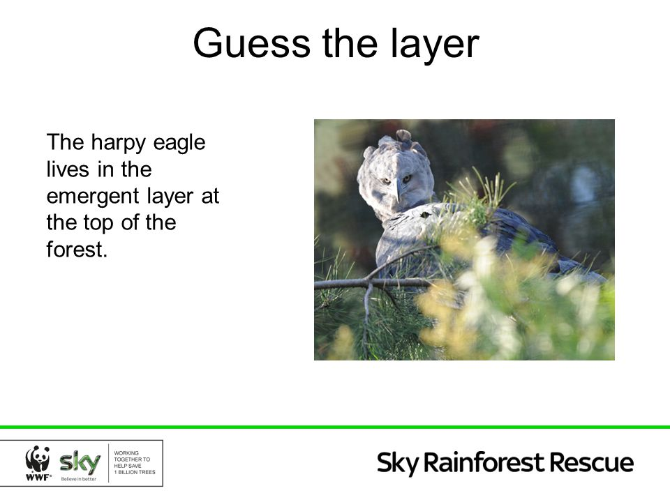 Guess the layer The harpy eagle lives in the emergent layer at the top of the forest.