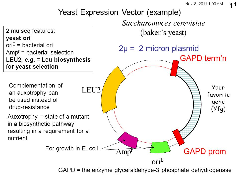 Yeast Expression Vector (example)