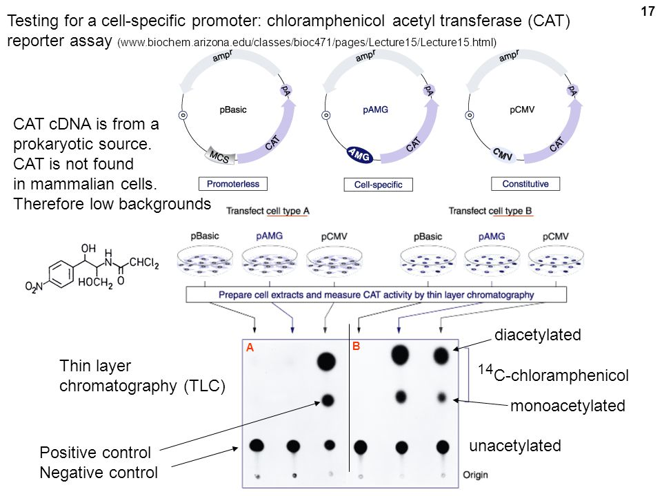 Testing for a cell-specific promoter: chloramphenicol acetyl transferase (CAT) reporter assay (www.biochem.arizona.edu/classes/bioc471/pages/Lecture15/Lecture15.html)
