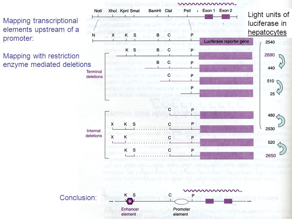 Light units of luciferase in hepatocytes