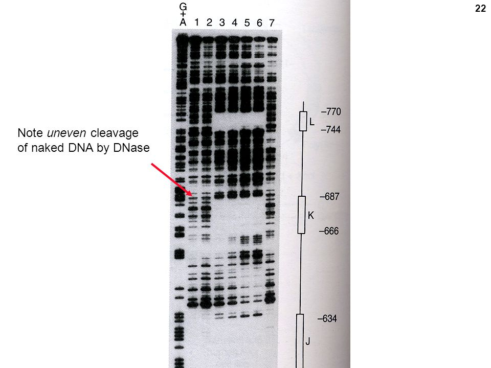 Note uneven cleavage of naked DNA by DNase