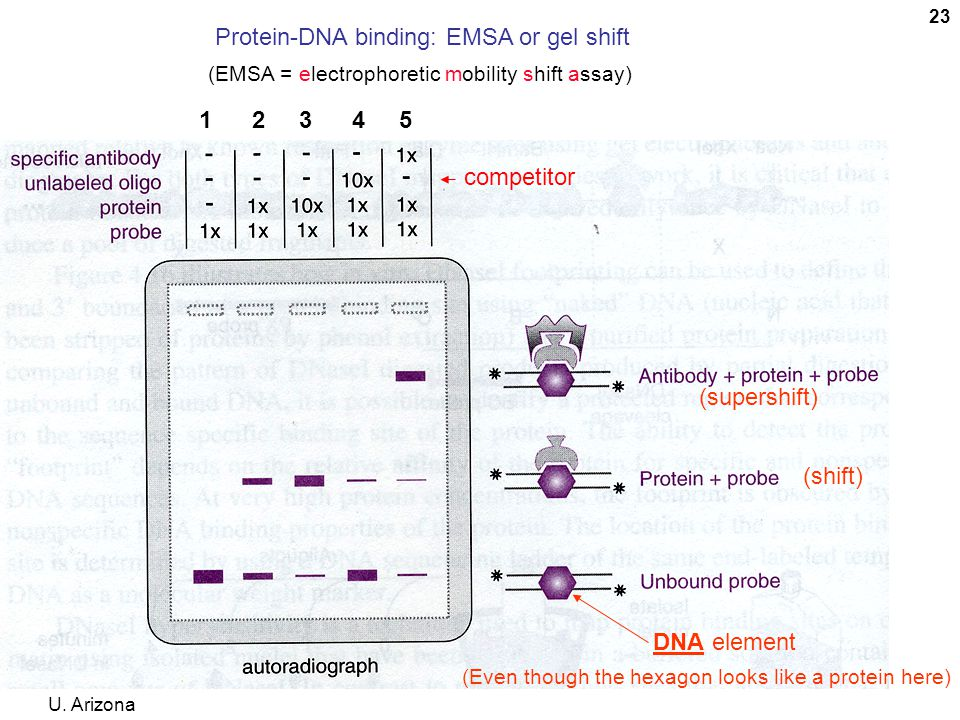 Protein-DNA binding: EMSA or gel shift