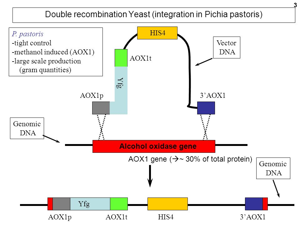 Double recombination Yeast (integration in Pichia pastoris)