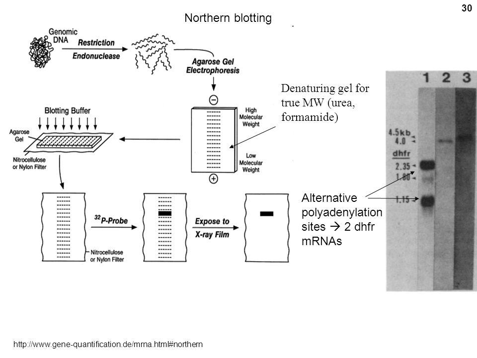Denaturing gel for true MW (urea, formamide)