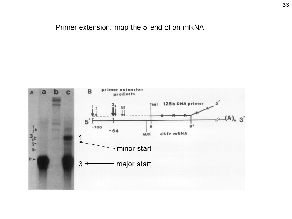 Primer extension: map the 5' end of an mRNA