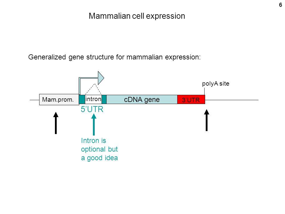 Mammalian cell expression