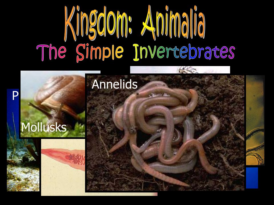 The Simple Invertebrates