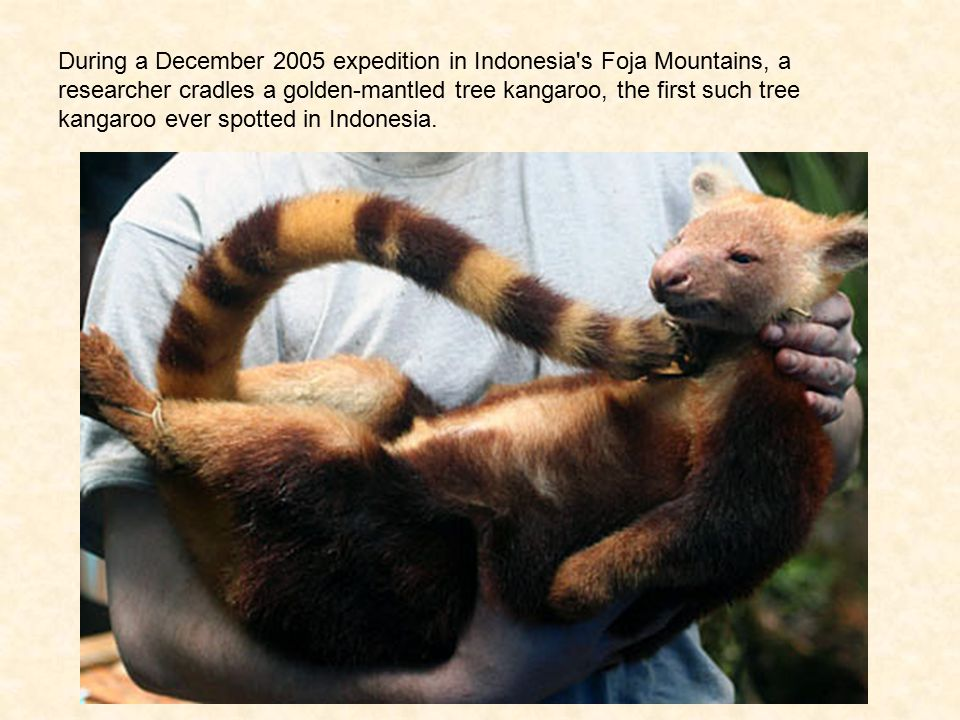 During a December 2005 expedition in Indonesia s Foja Mountains, a researcher cradles a golden-mantled tree kangaroo, the first such tree kangaroo ever spotted in Indonesia.