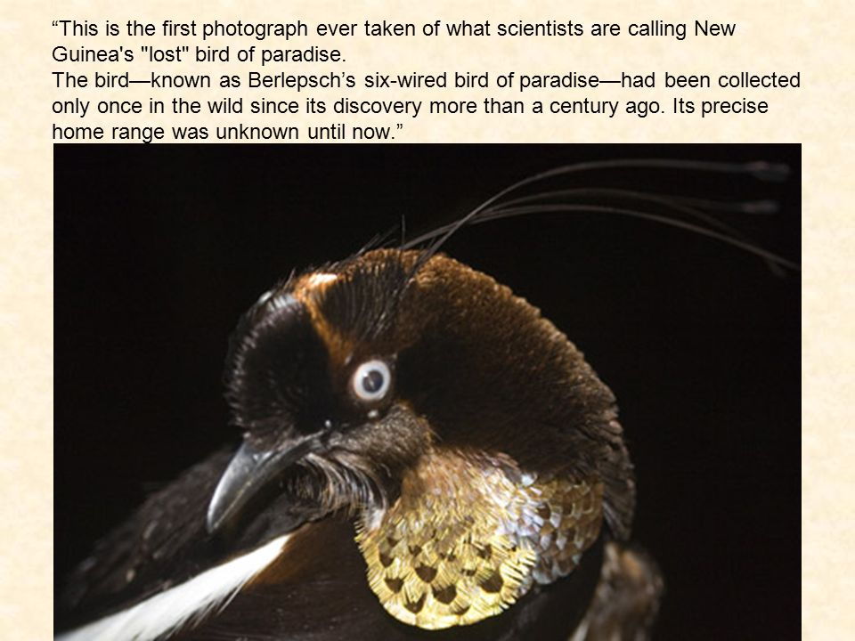 This is the first photograph ever taken of what scientists are calling New Guinea s lost bird of paradise.